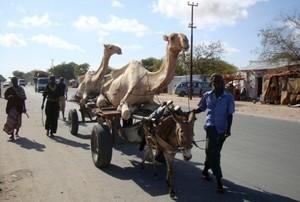 hombre transportan camellos