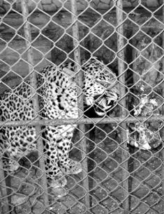 Napoleón, el jaguar del Zoológico santaclareño