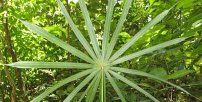 La especie de palma la «Coccothrinax rigida», acaba de ser redescubierta en un intrincado paraje de la oriental provincia de Holguín. Foto: AIN