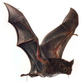 Científicos descubren alta prevalencia de anticuerpos contra el Ébola en los murciélagos