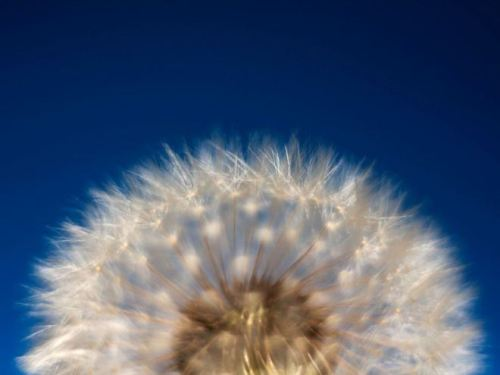 Dandelion Photograph by Candy Caldwell